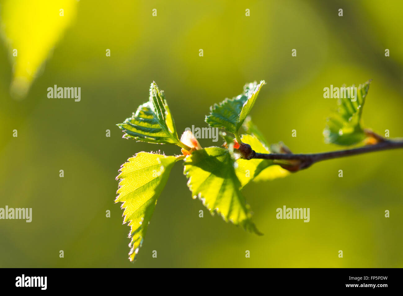 young spring leaves on green blurred background - Stock Image