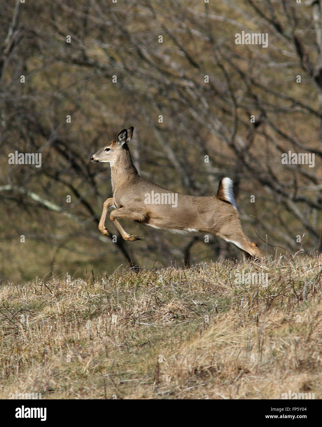 White tailed deer running through field Kentucky Stock Photo