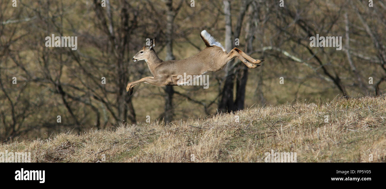 White tailed deer running through field Kentucky - Stock Image