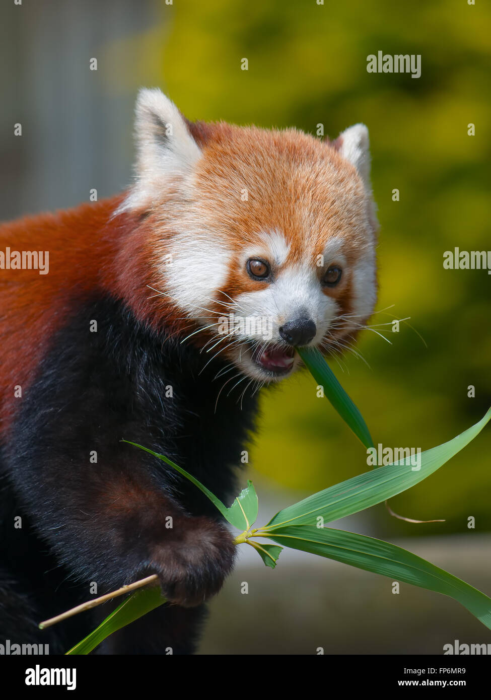 Red Panda eating the Leaves from Bamboo shoots - Eats shoots and leaves - Stock Image