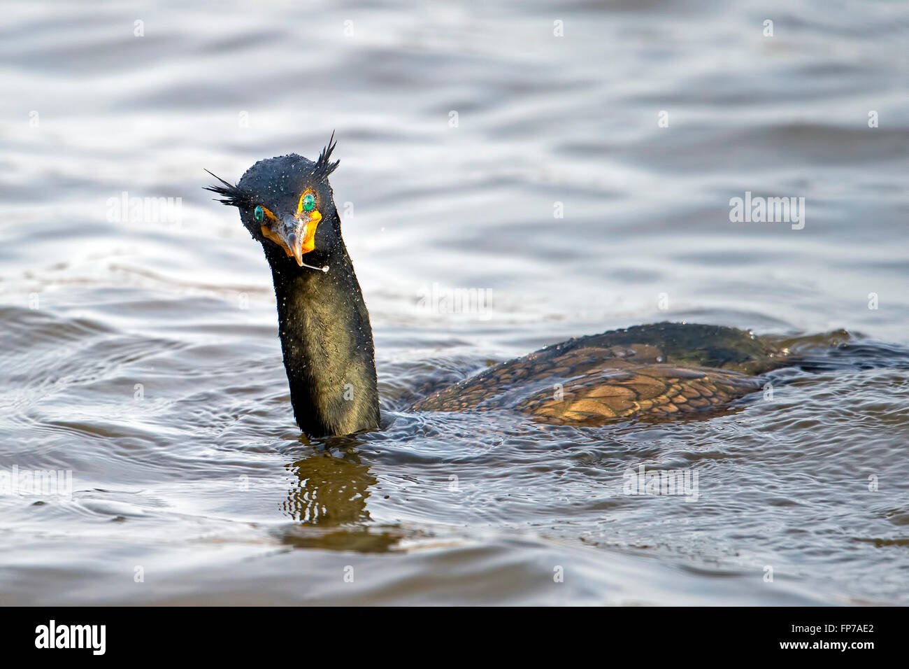 Double-crested Cormorant - Stock Image