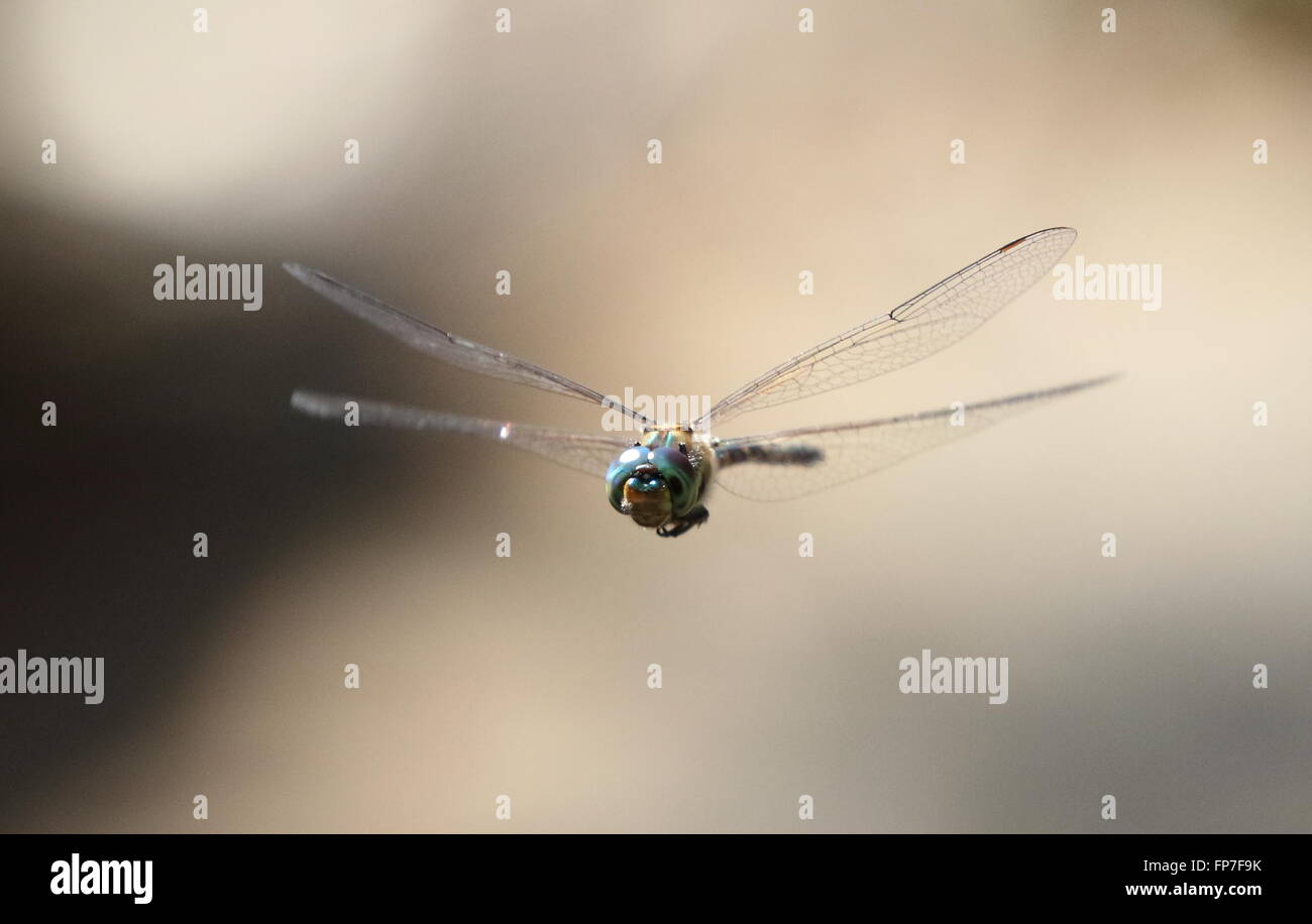 australian dragonfly emerald stock alamy photo