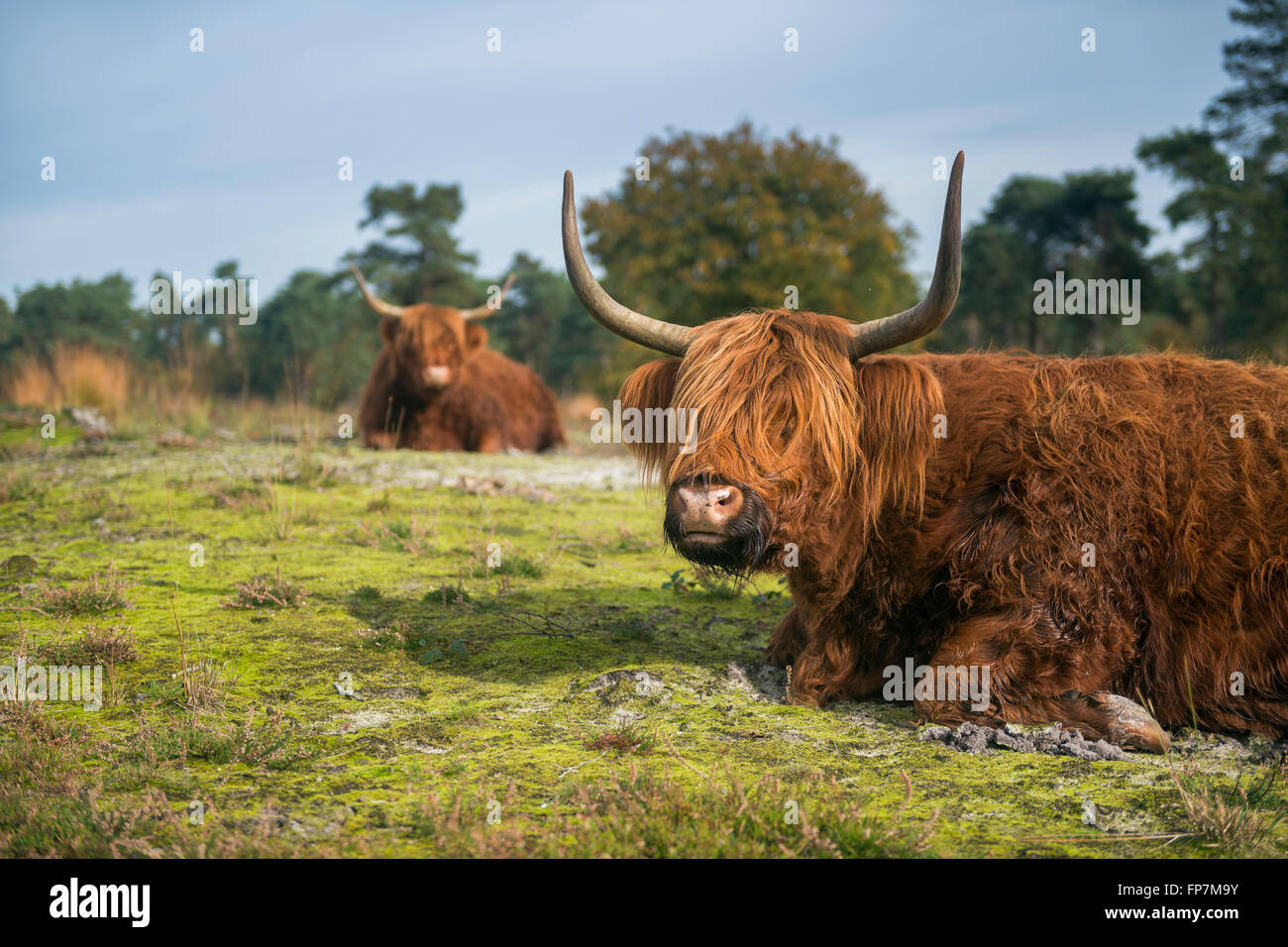 Highland Cattles / Schottische Hochlandrinder ( Bos primigenius taurus ) lying on the ground in typical surrounding. Stock Photo