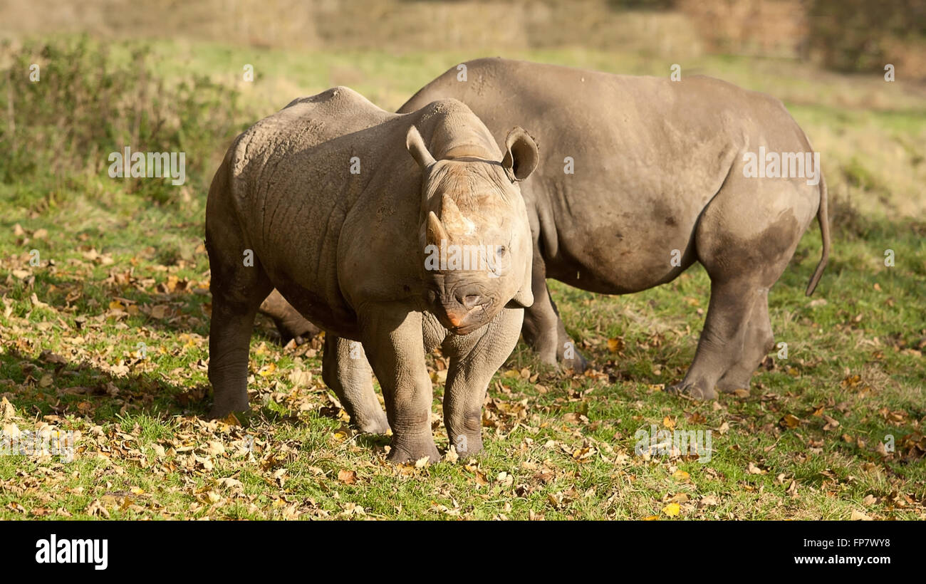 photo of two Black Rhinos in the sunshine - Stock Image