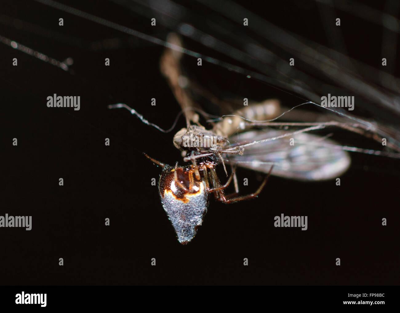Silver Tear-drop Spider or Dew-drop Spider (Argyrodes antipodianus) with Prey, Western Australia, Australia - Stock Image
