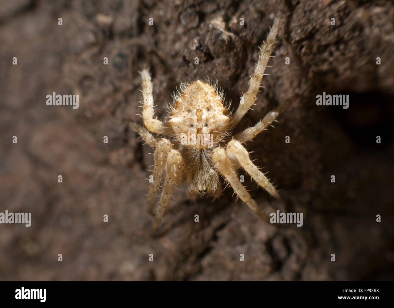 Orb-weaving Spider (Eriophora sp.), Western Australia, Australia ...