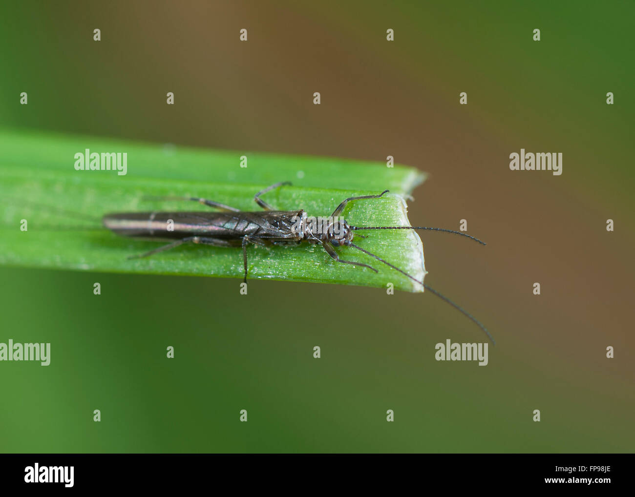 Stonefly (Plecoptera), Western Australia, Australia - Stock Image