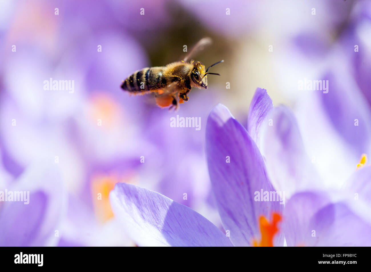 Close up Bee flying above crocus flowers - Stock Image