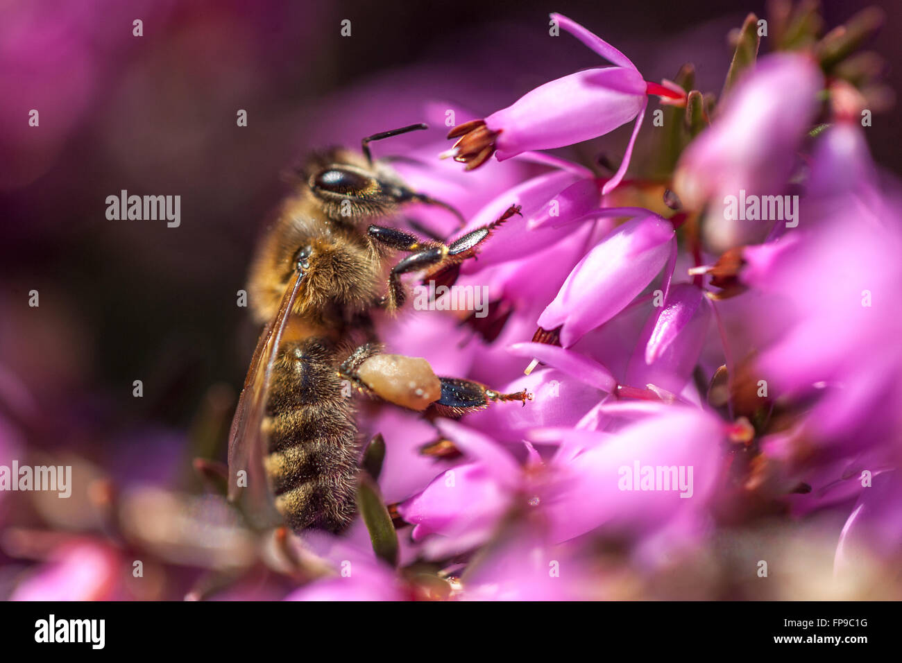 Erica  carnea  syn. herbacea 'Pirbright Rose' and close up bee on flower - Stock Image