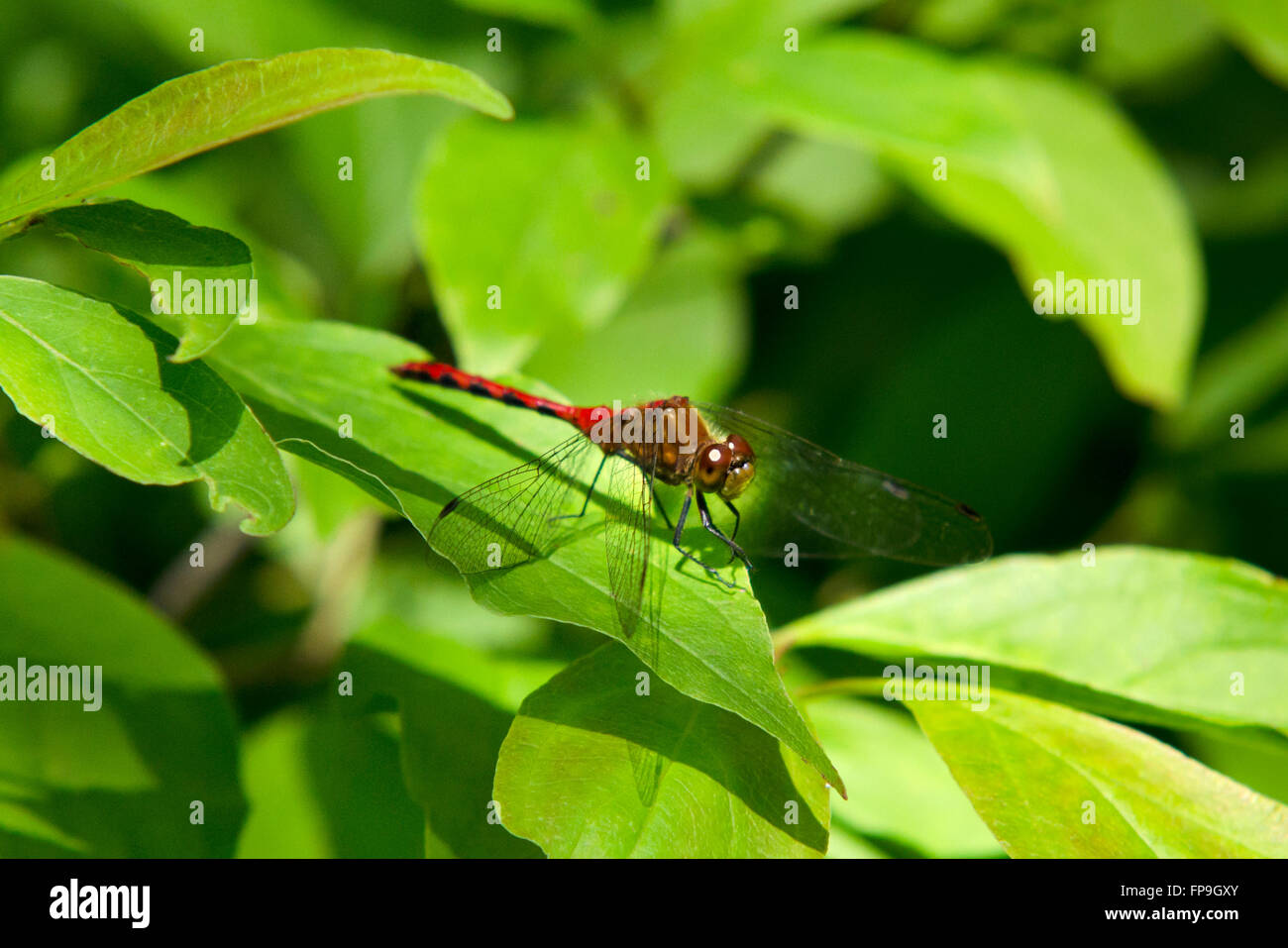 Red dragonfly (Ruby Meadowhawk) up close on leaf Stock Photo