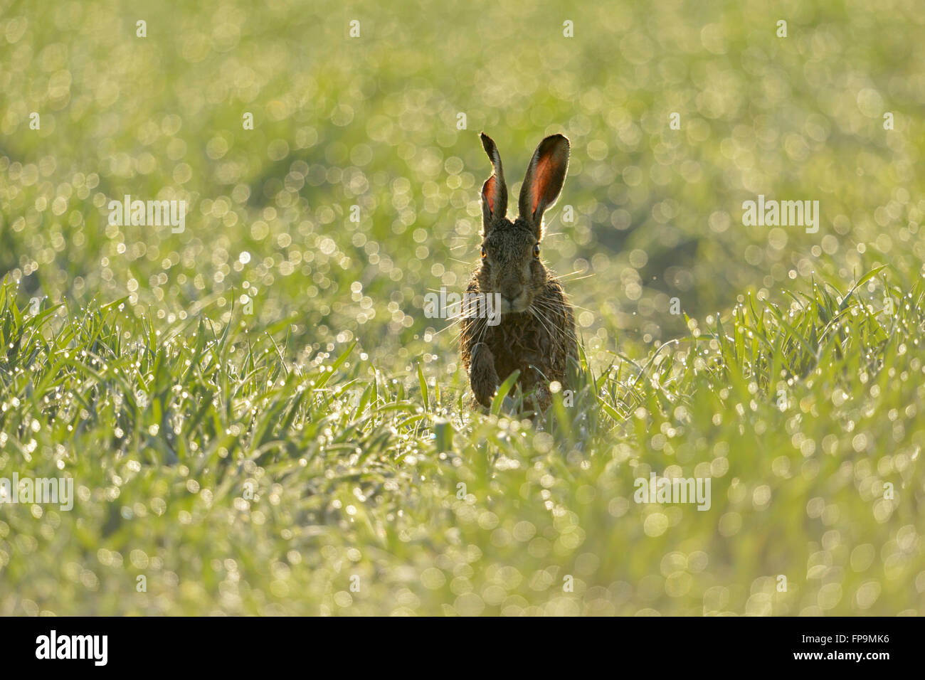 Brown Hare / European Hare  ( Lepus europaeus ) jumps through sparkling pearls over dew wet grass, frontal view, - Stock Image