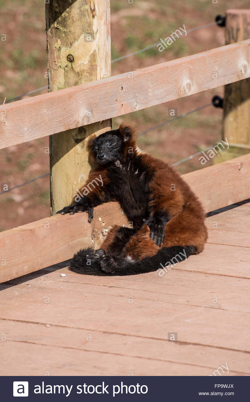 Red Ruffed Lemur dozing in the sunshine - Stock Image