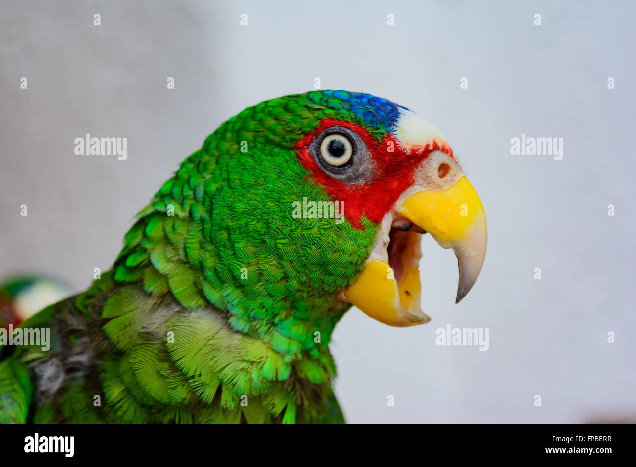 Parrot, White-fronted Amazon Parrot, Amazona albifrons, Spectacled Amazon or White-fronted Parrot, Copy space - Stock Image