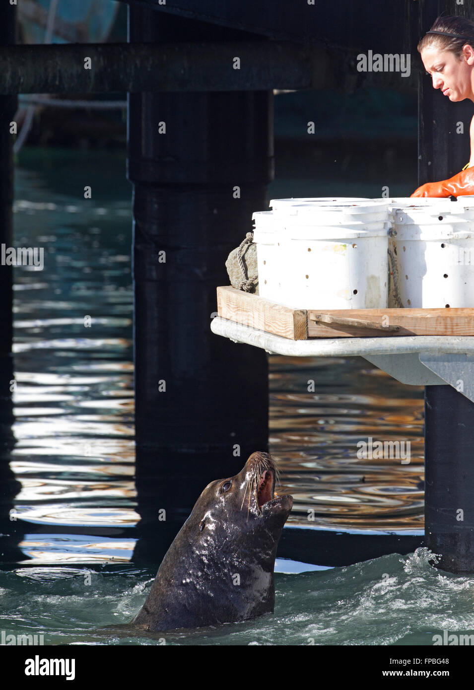 Sea Lion Begging - Stock Image
