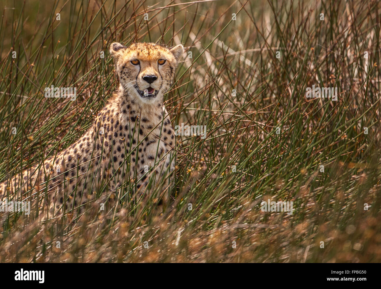 Cheetah sitting in tall reeds near swampy area with mouth open and eyes focused on camera - Stock Image