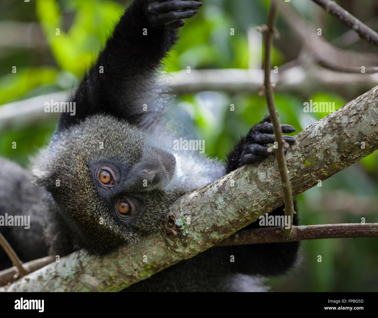 Sykes's monkey staring at camera with head tilted and resting on branch - Stock Image