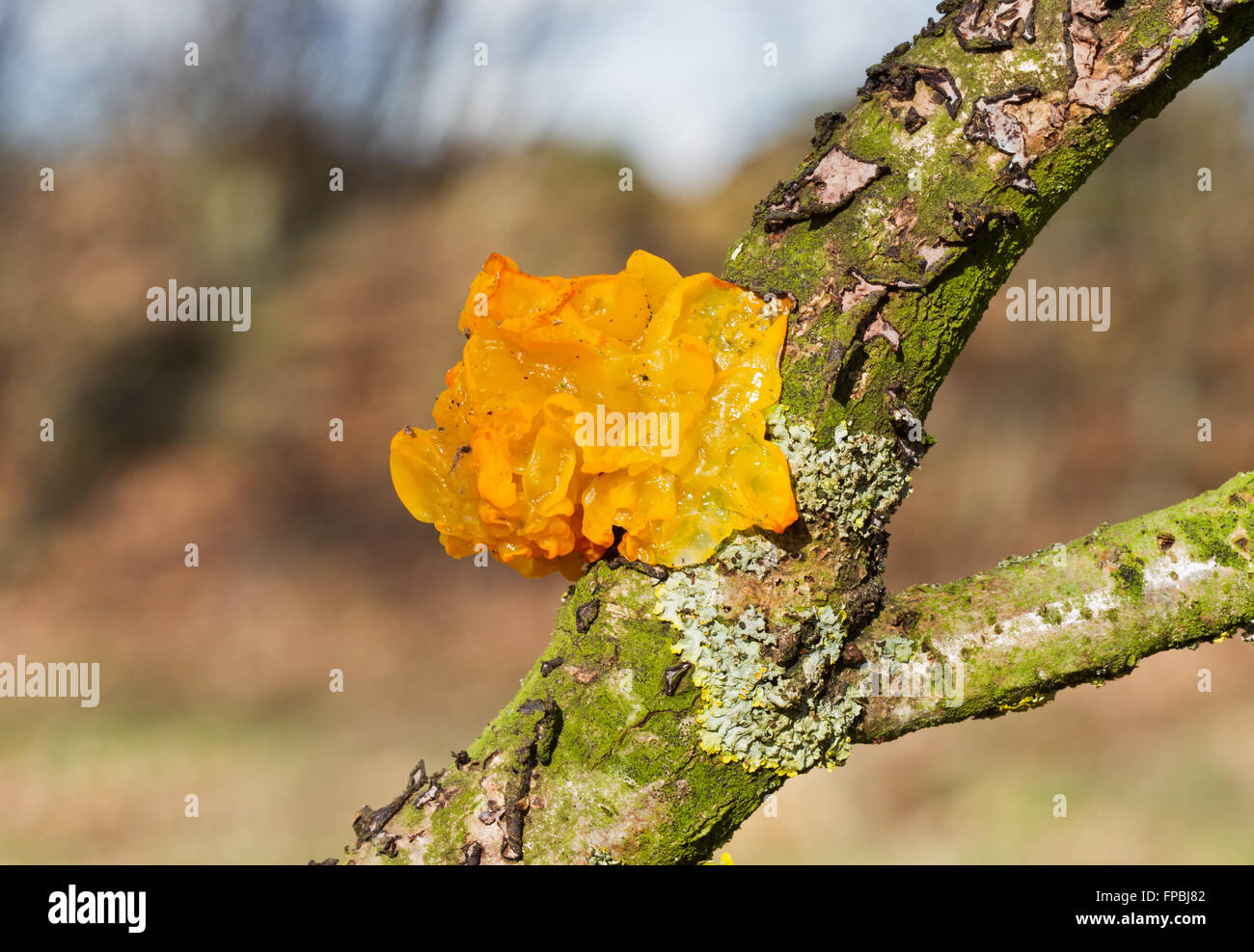 Golden jelly fungus (Tremella mesenterica) on the dead branch of an Oak tree - Stock Image