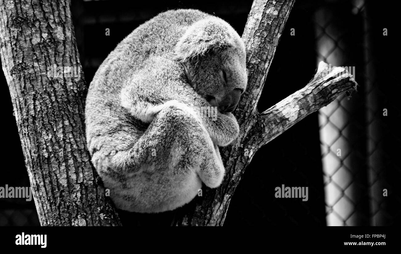 Sleeping koala black and white - Stock Image