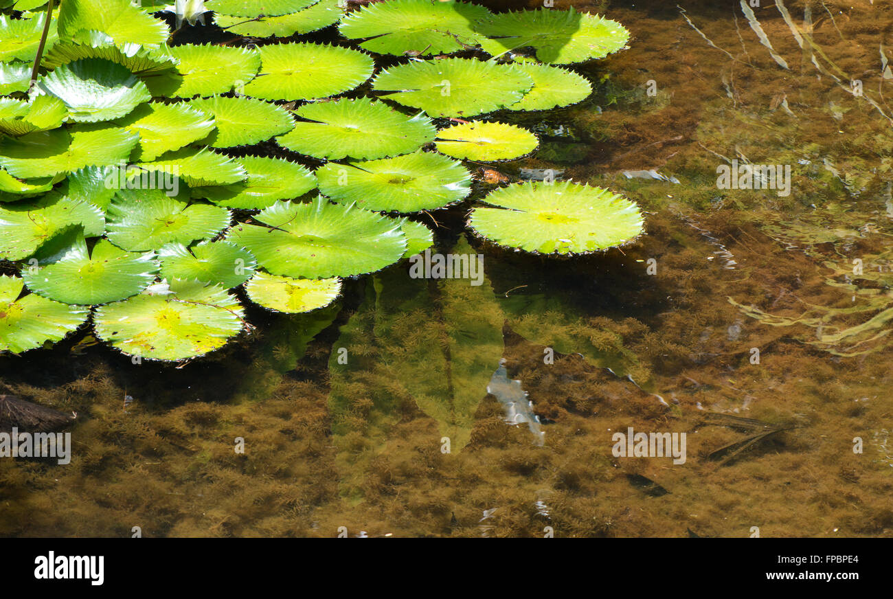 Victoria Water Lily Pads Victoria Stock Photos & Victoria Water Lily ...