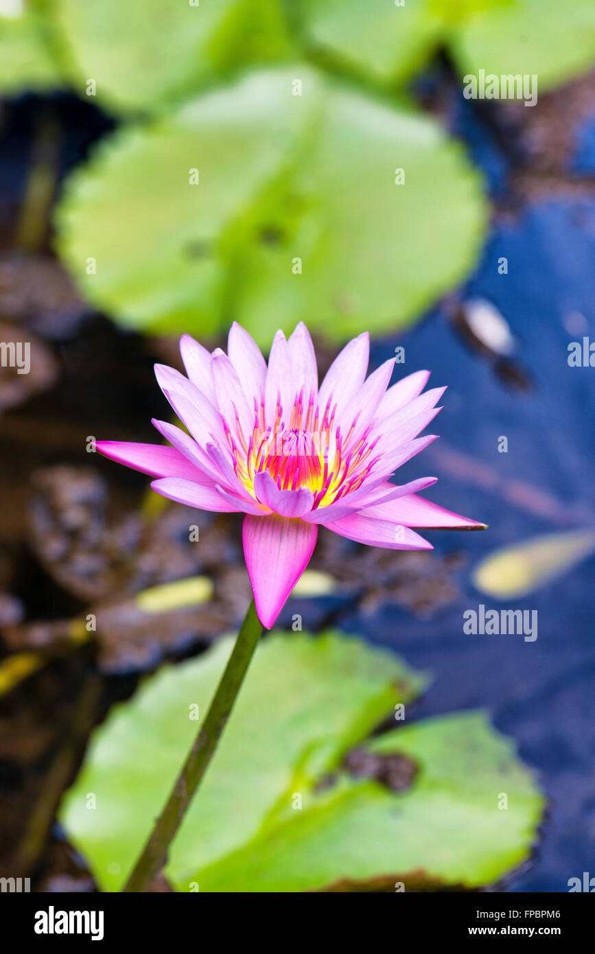 Pretty fresh pink lotus flower growing in a calm pond above the pretty fresh pink lotus flower growing in a calm pond above the floating green lily pads izmirmasajfo