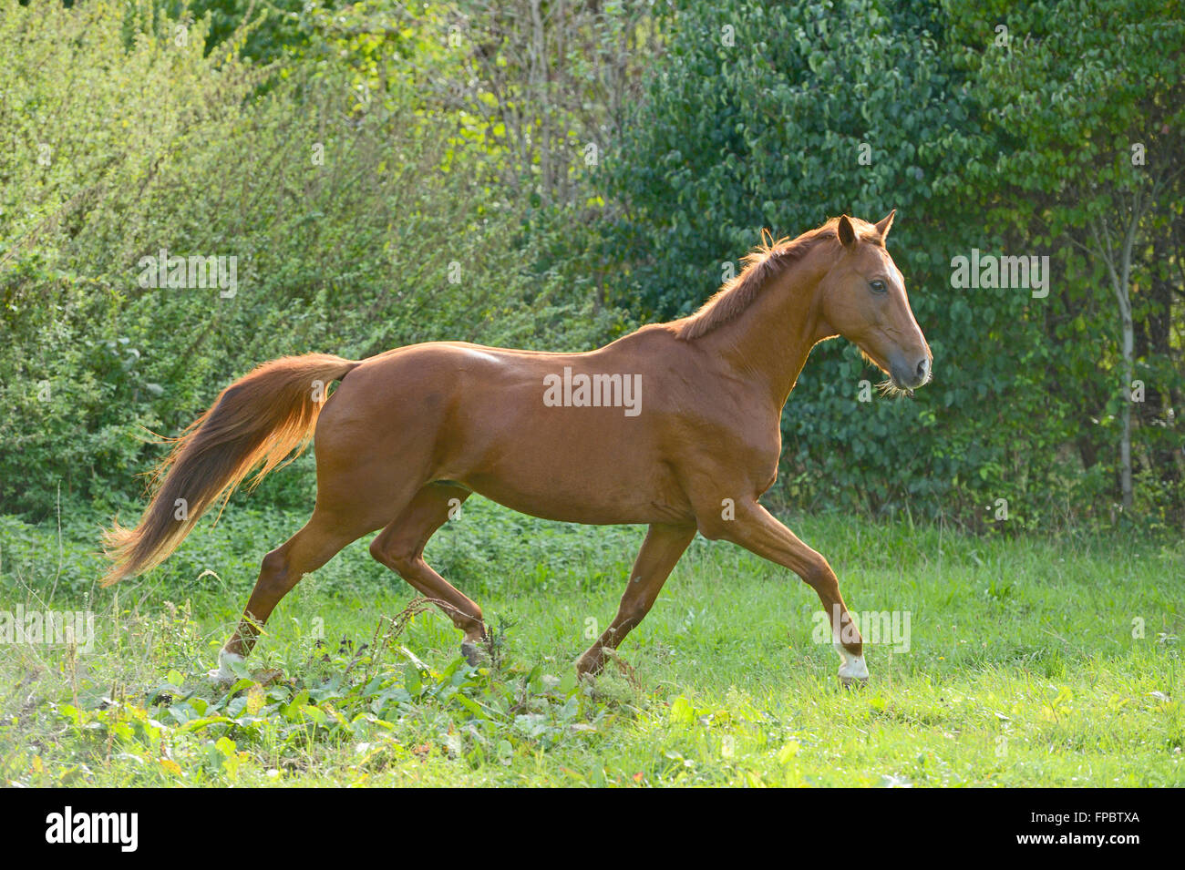 Trakehnen horse trotting in the field - Stock Image