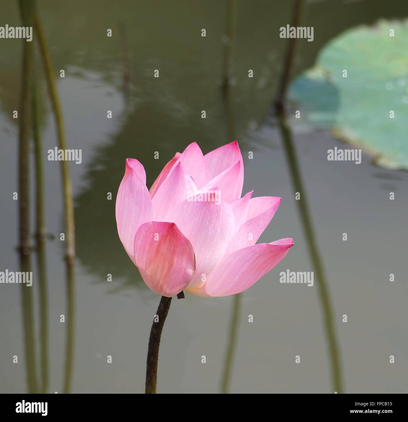 The Beautiful Lotus Flower Is A Symbol For Buddhism In Asia Stock