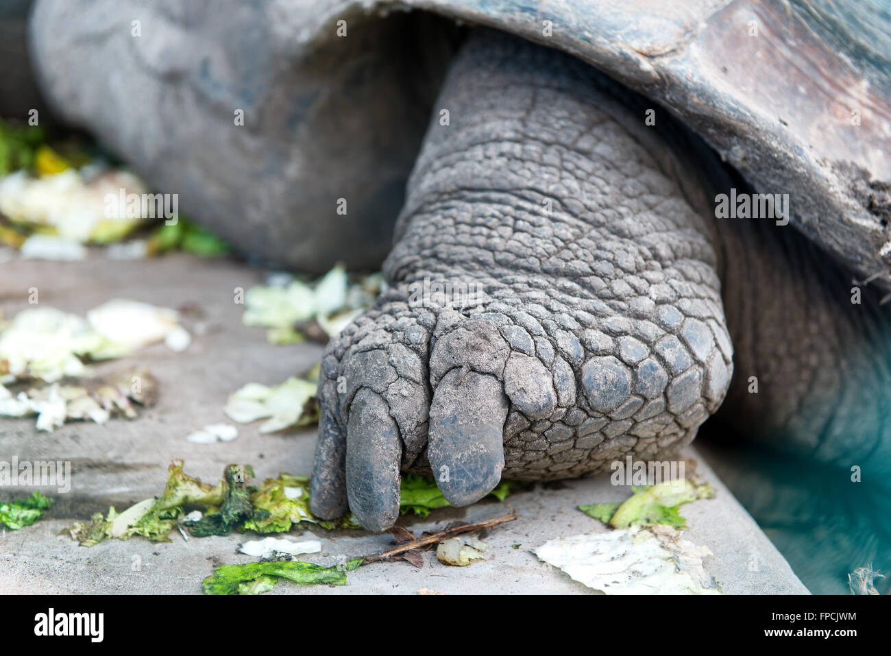 Detail of the foot of a Giant Tortoise from the Aldabra atoll in the Seychelles showing the claws and hard scaly - Stock Image