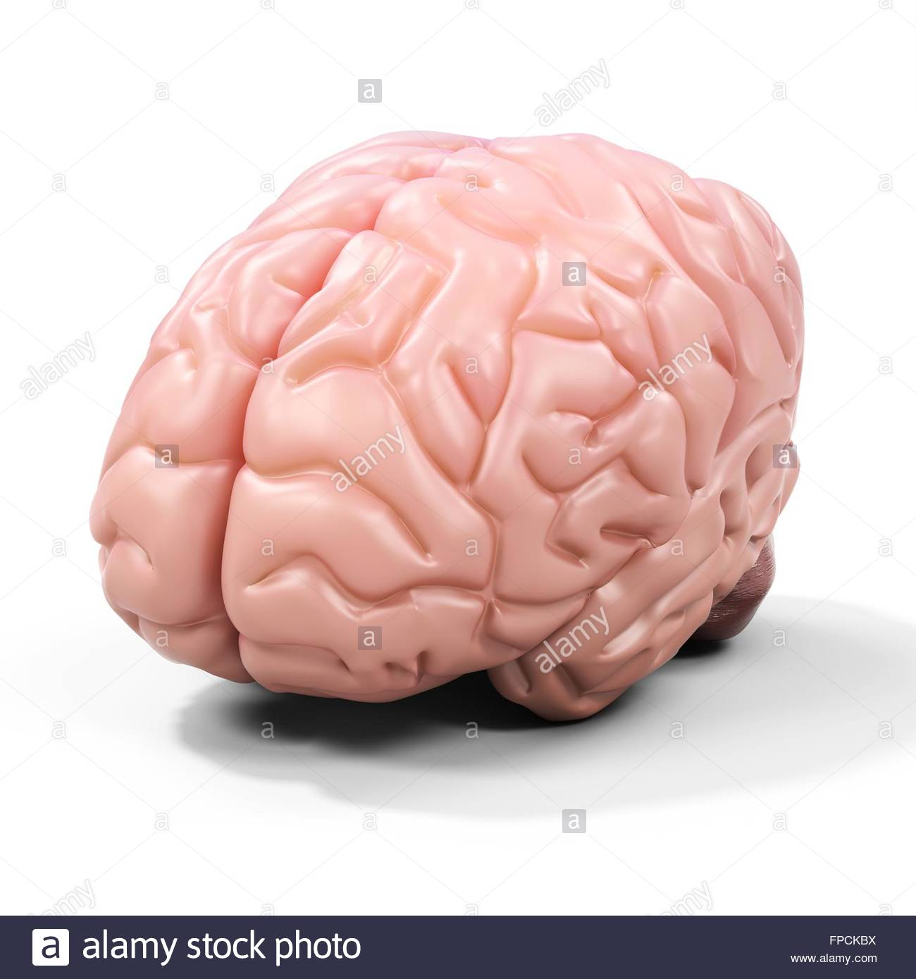 3d detailed brain on white background Stock Photo: 99852926 - Alamy