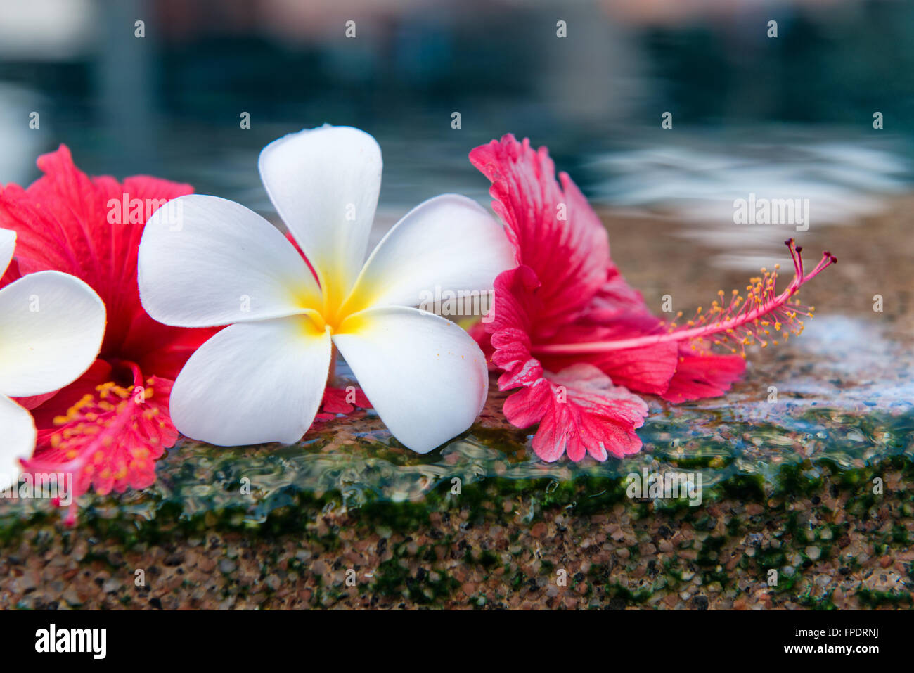 Hibiscus And Plumeria Flowers Stock Photos Hibiscus And Plumeria