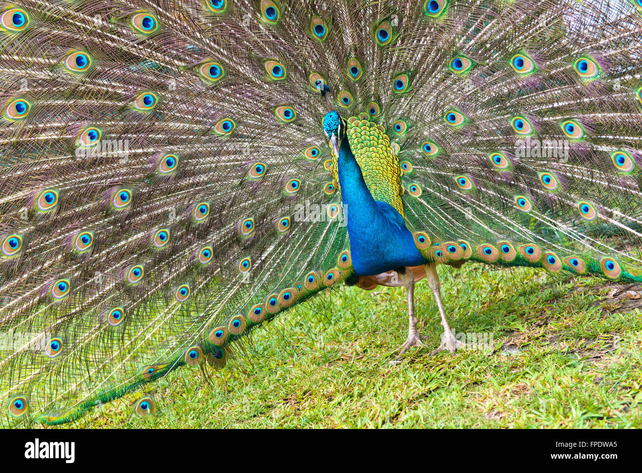 Close up Wide Eye-Spotted Beautiful Tail Feathers of Peafowl Bird at the Grassy Land. Stock Photo