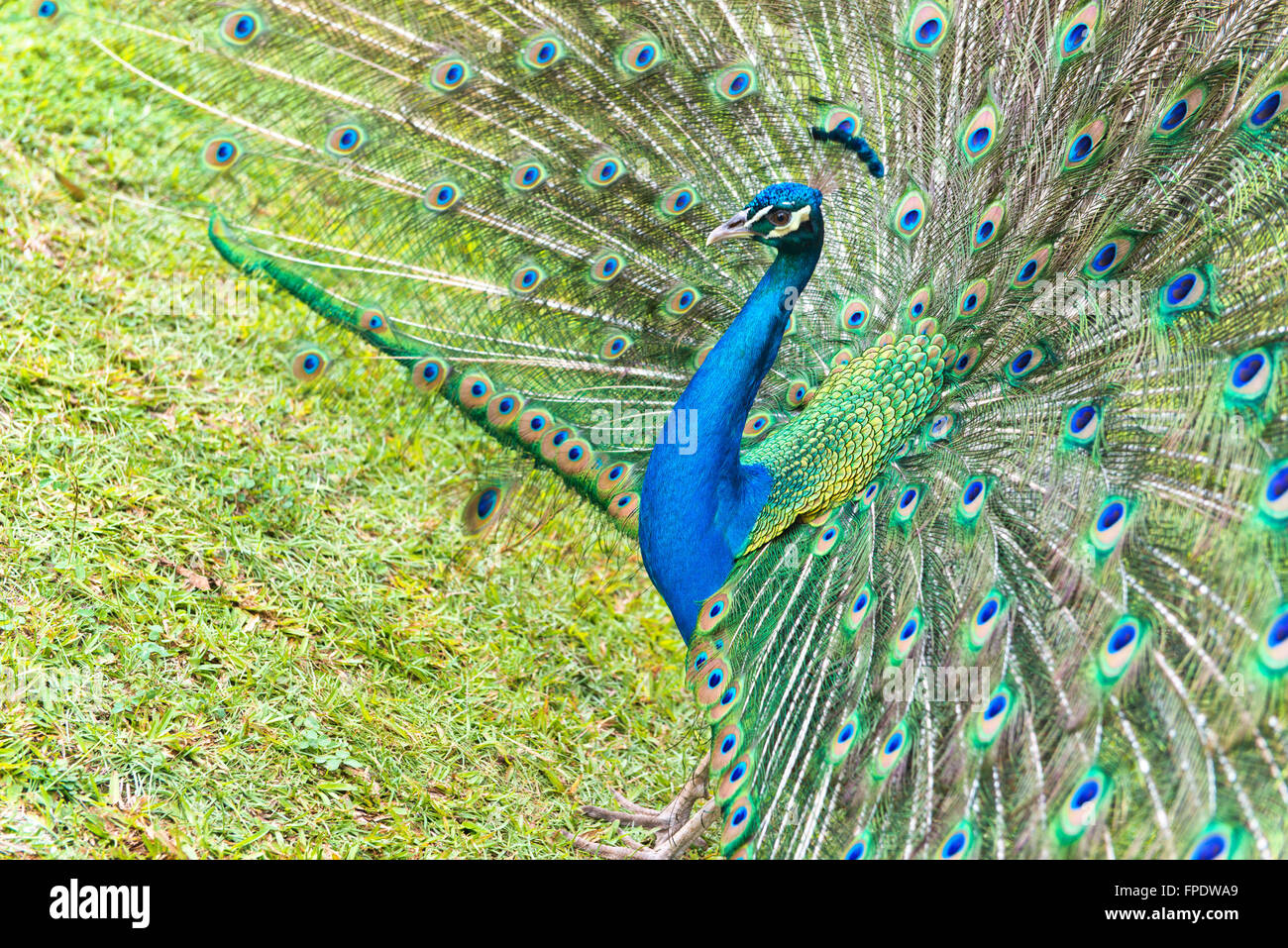 Beautiful Blue Green Plumage of Male Indian Peacock Standing on Grassy Land. Stock Photo