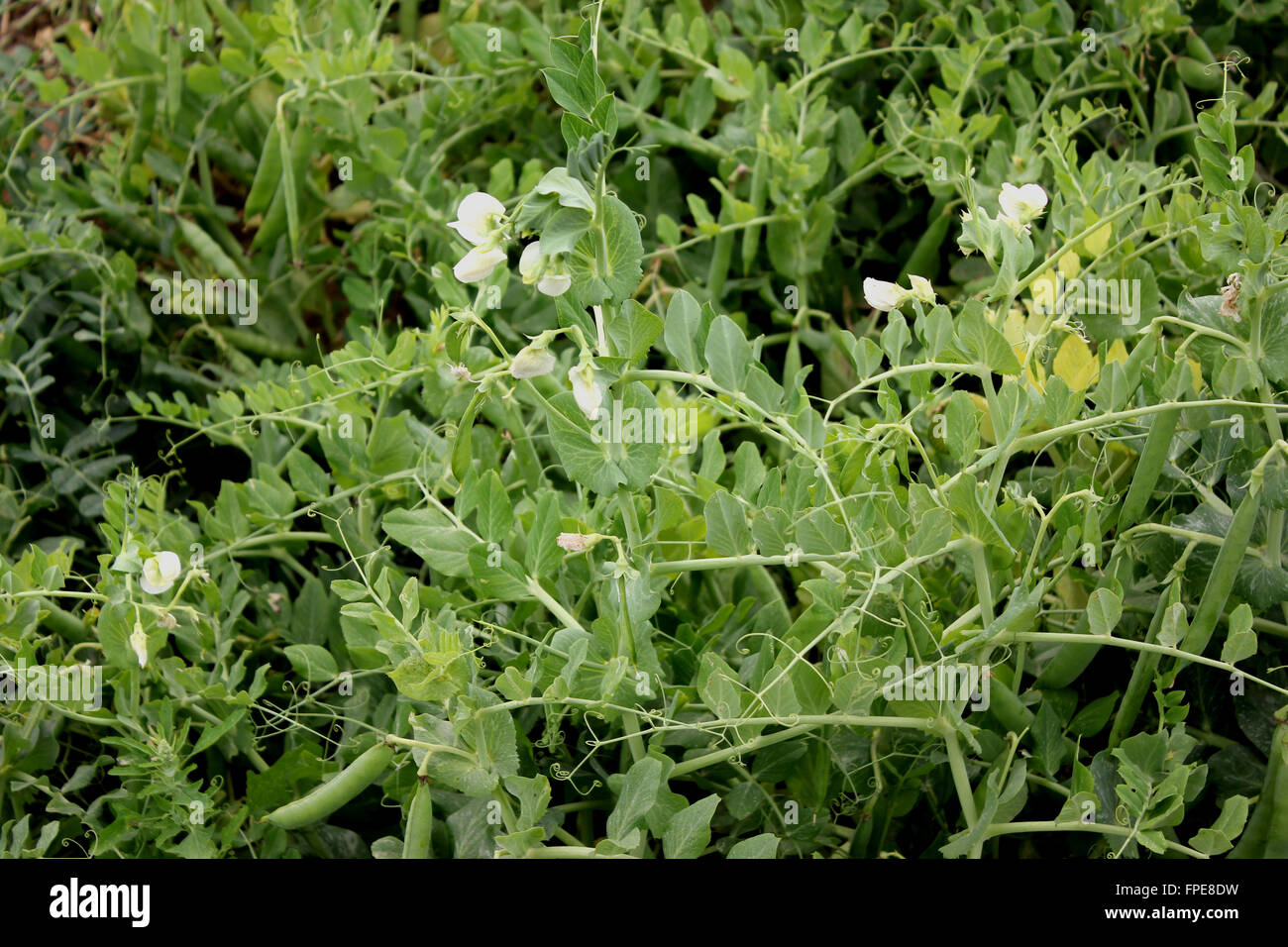 Garden Pea, Pisum sativum, cultivated annual herb with pinnate compound leaves, terminal tendrils, white flowers - Stock Image