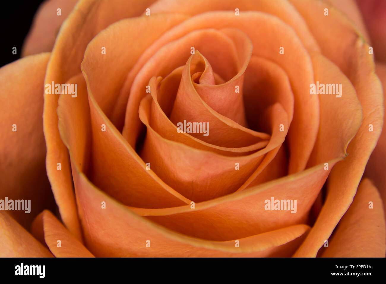 peach colored rose stock photos peach colored rose stock images