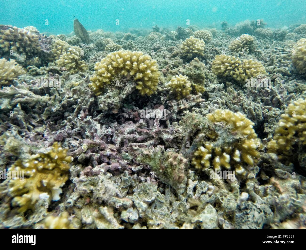 Unhealthy coral reef with multiple broken hard corals - Stock Image