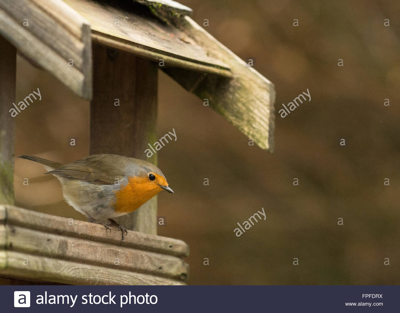 European Robin (Erithacus rubecula) on wooden bird table with copy space - Stock Image