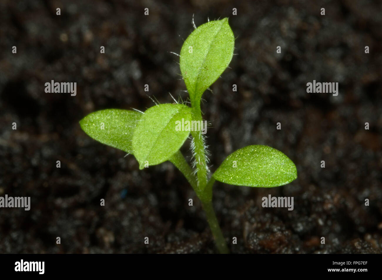 Seedling chickweed, Stellaria media, with cotyledons and first true leaves of annual weed Stock Photo