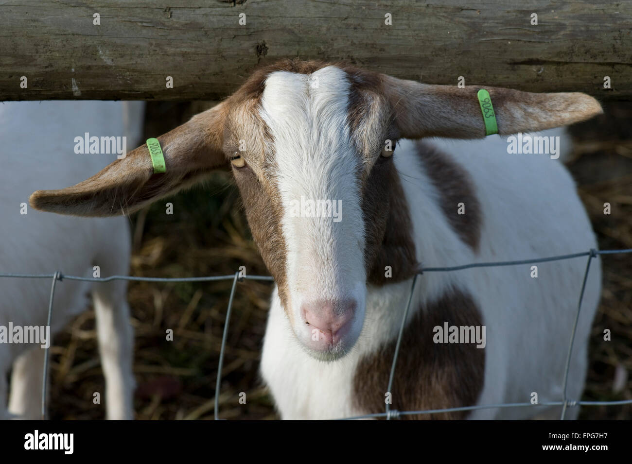 A mixed breed boer type female goat,  Berkshire, June - Stock Image