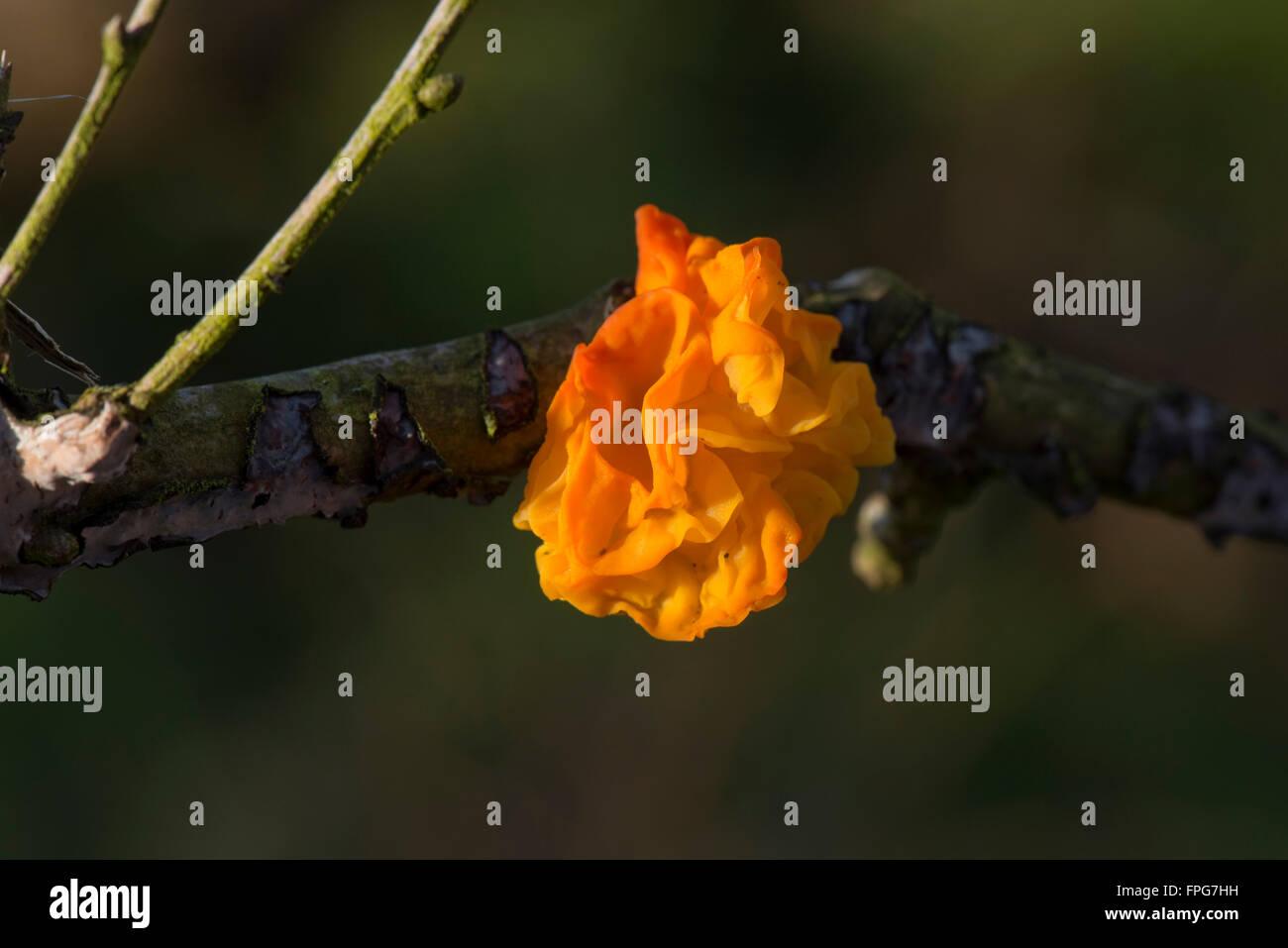 Golden ear fungus, Tremella aurantia, fruiting body breaking through the branches of a fallen oak tree, January - Stock Image