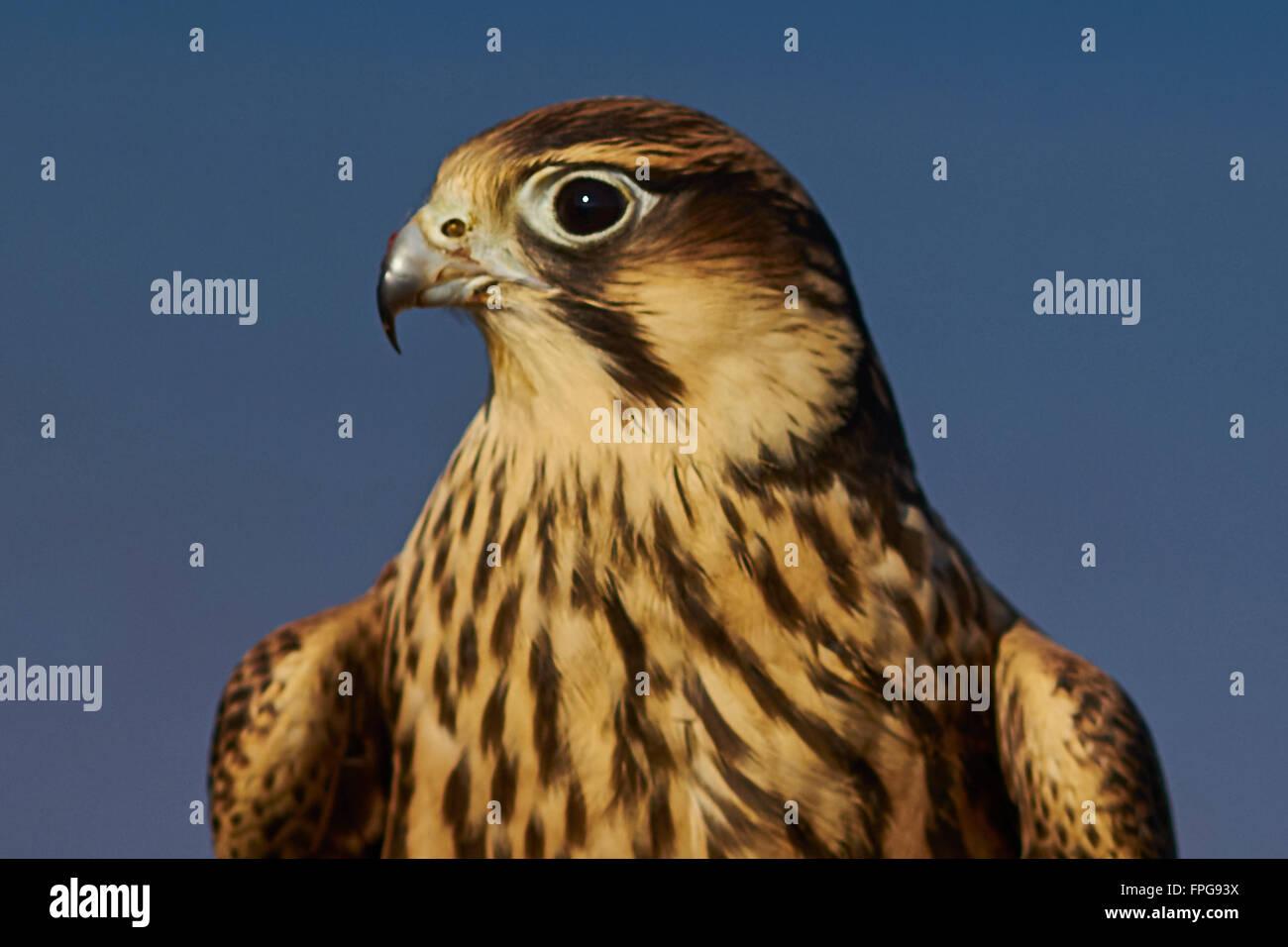 BIRDS OF PREY - Stock Image