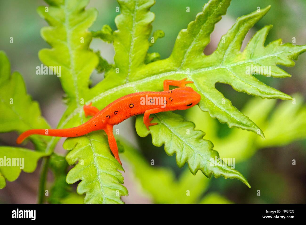 Eastern newt red eft stage close up crawling on green fern leaf Stock Photo