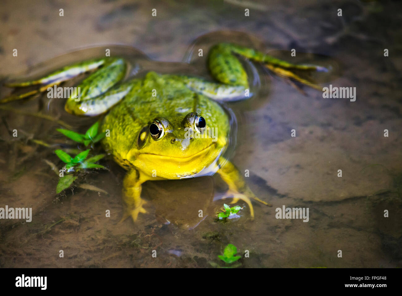 Green frog front view up close in pond habitat - Stock Image