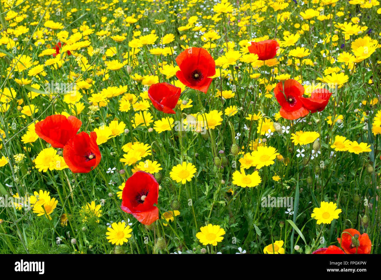 Fields Of Poppies And Other Color Flowers Stock Photo 99941041 Alamy