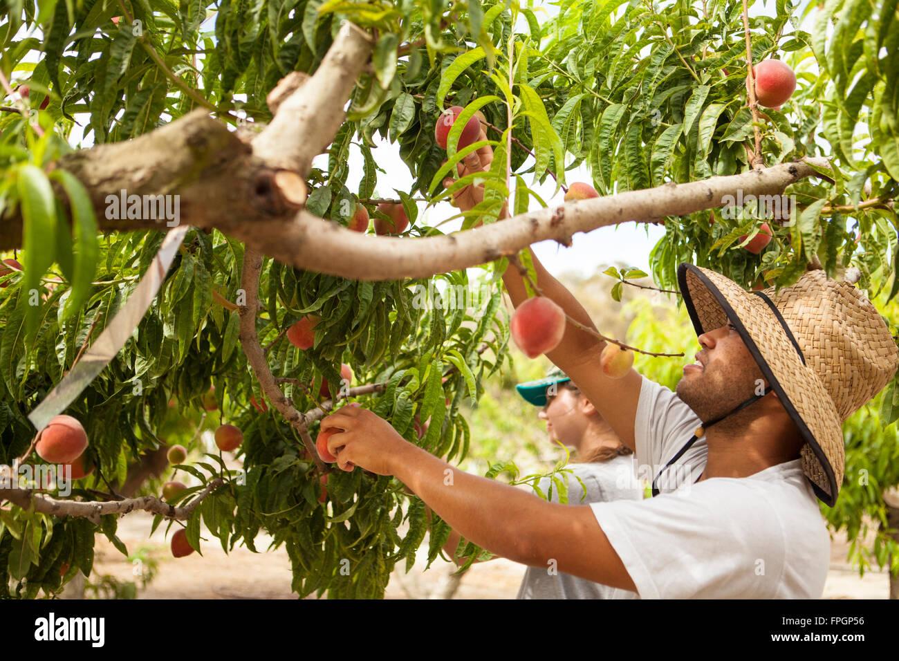 students harvest peaches at the Cal Poly Organic Farm Deciduous Orchard, San Luis Obispo, California - Stock Image