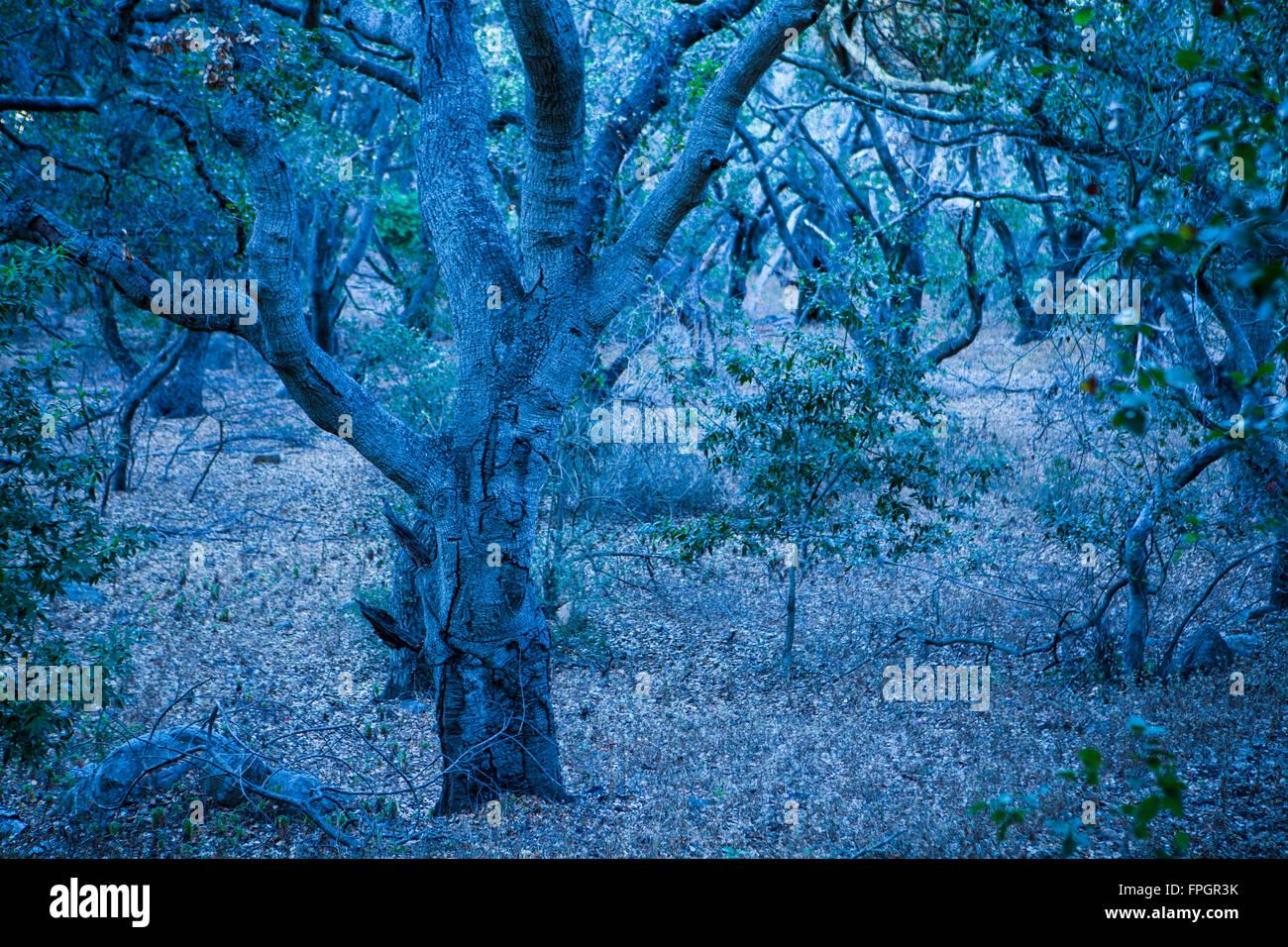 ominous oak forest, Bishop Peak, San Luis Obispo, California - Stock Image