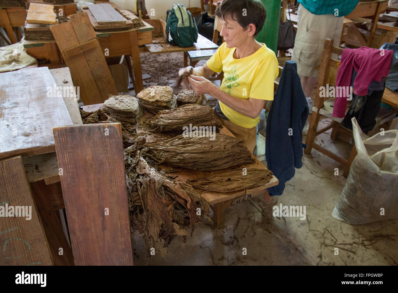 North America, Latin America, Caribbean, Cuba, Vinales Valley, Workers de-stem the tobacco leaves. - Stock Image