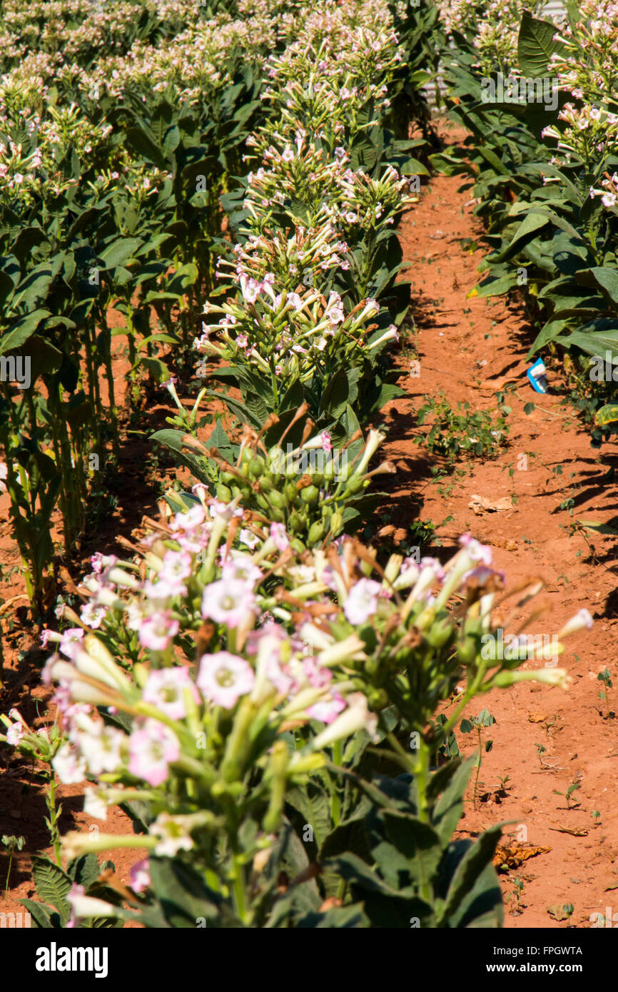 Cuba, Vinales Valley. Tobacco plants in flower. Traditional farming practices. Known as the tobacco producing region - Stock Image