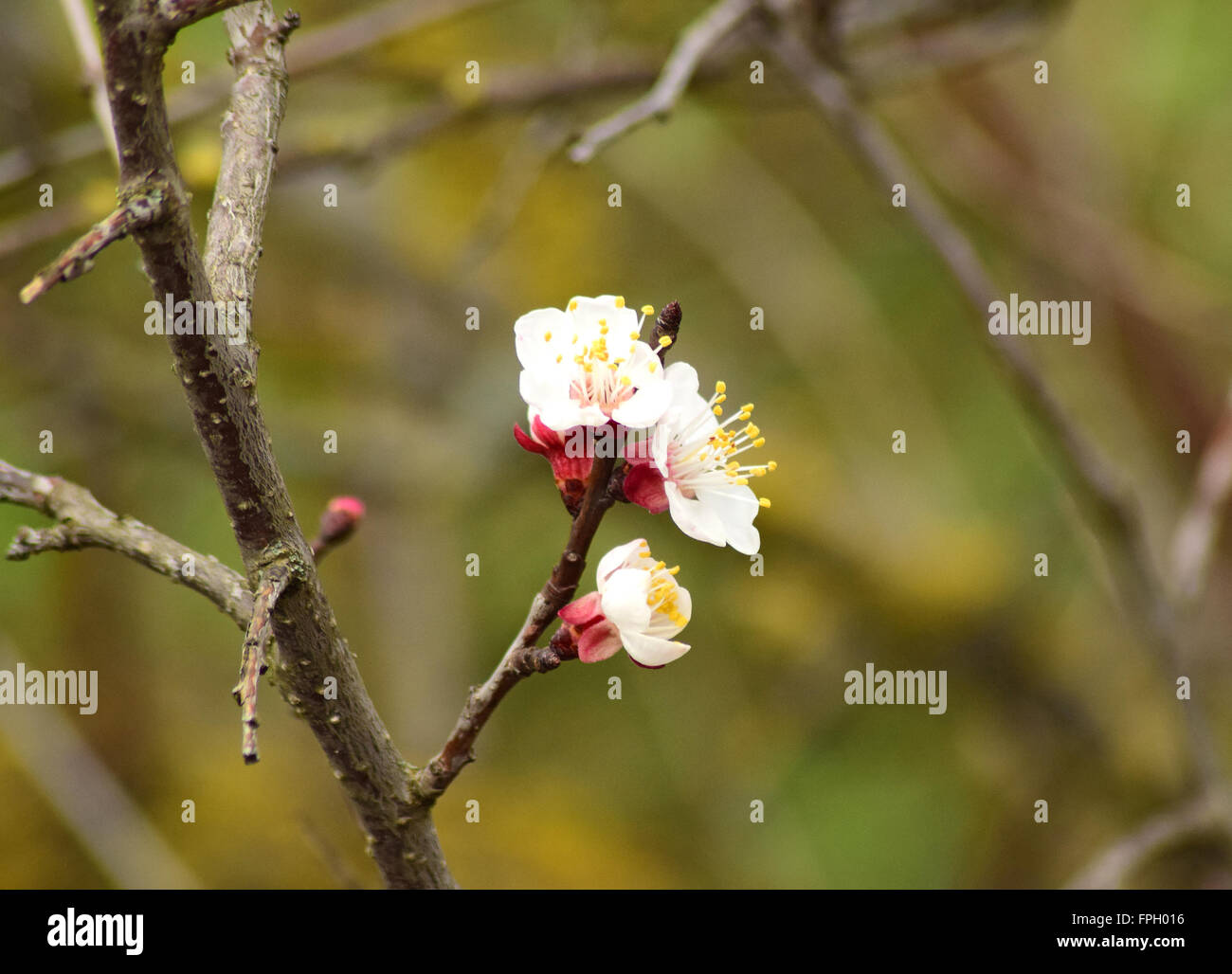 Blooming Wild Apricot In The Garden Spring Flowering Trees Stock