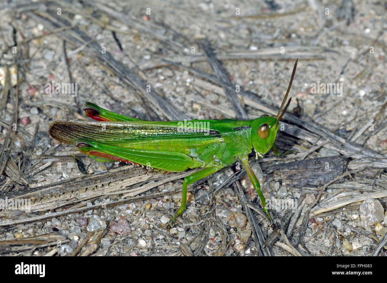 Paracinema tricolor grasshopper on the ground - Stock Image