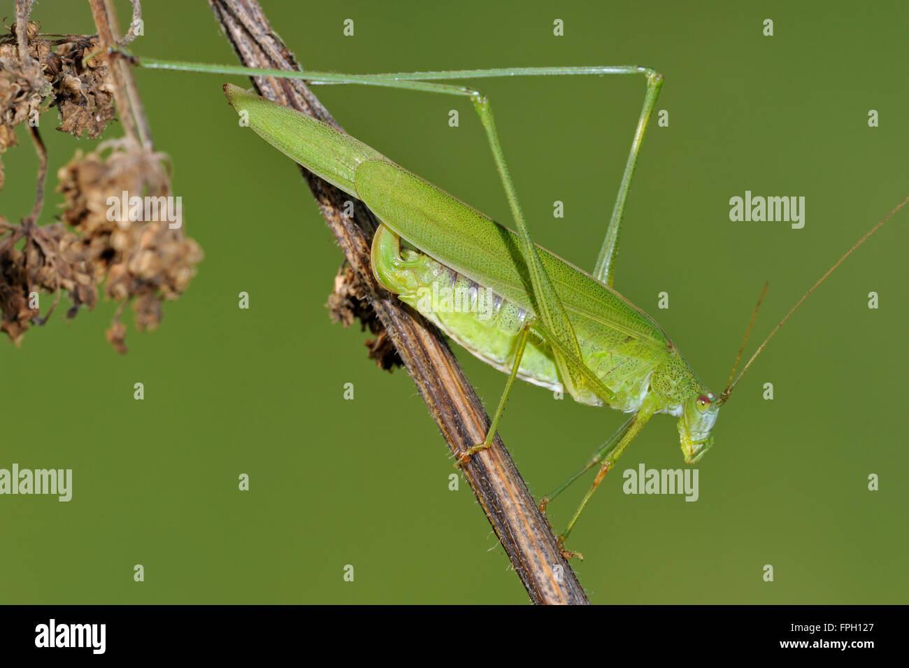 Sickle-bearing bush-cricket (Phaneroptera falcata) female on stem in grassland - Stock Image