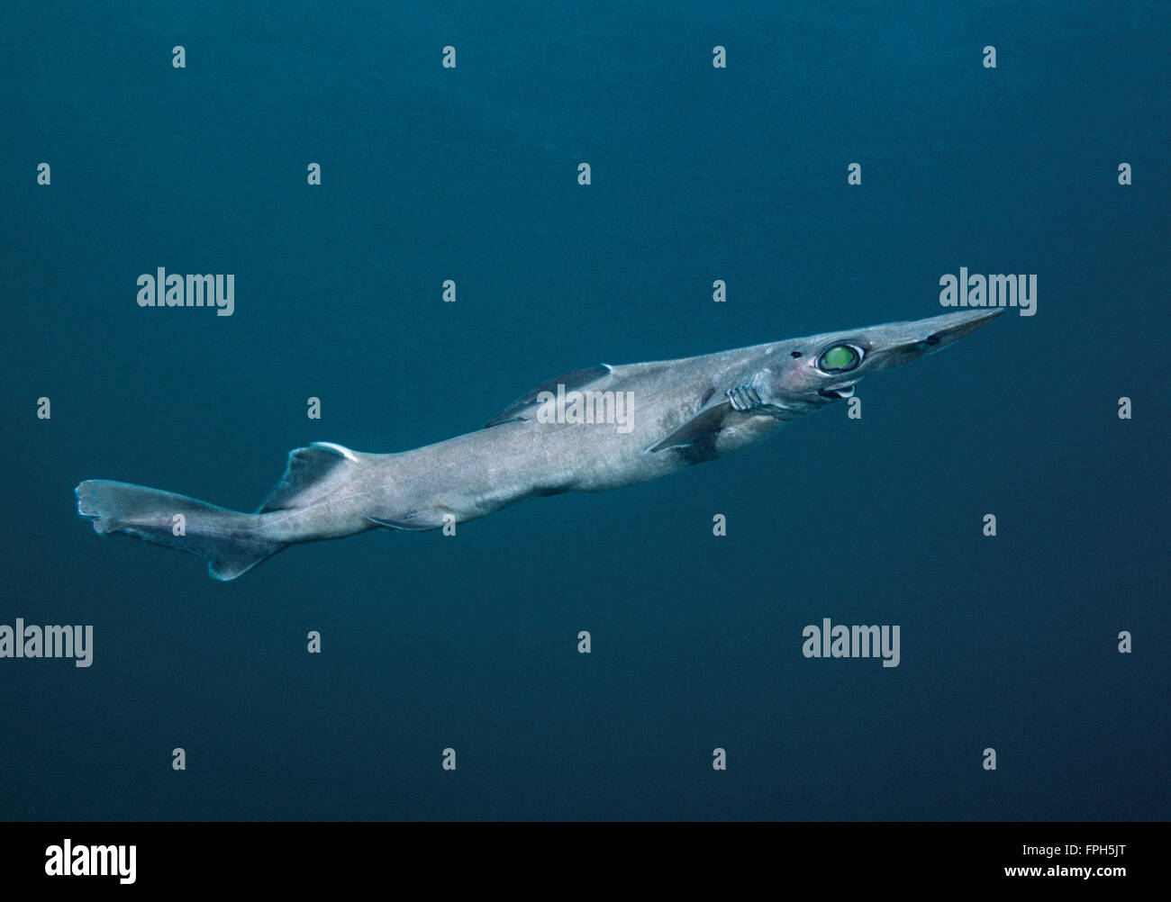 Brier Shark (Deania calcea) Deepwater shark found in 70 to 1500 m in temperate Pacific and Atlantic waters. - Stock Image